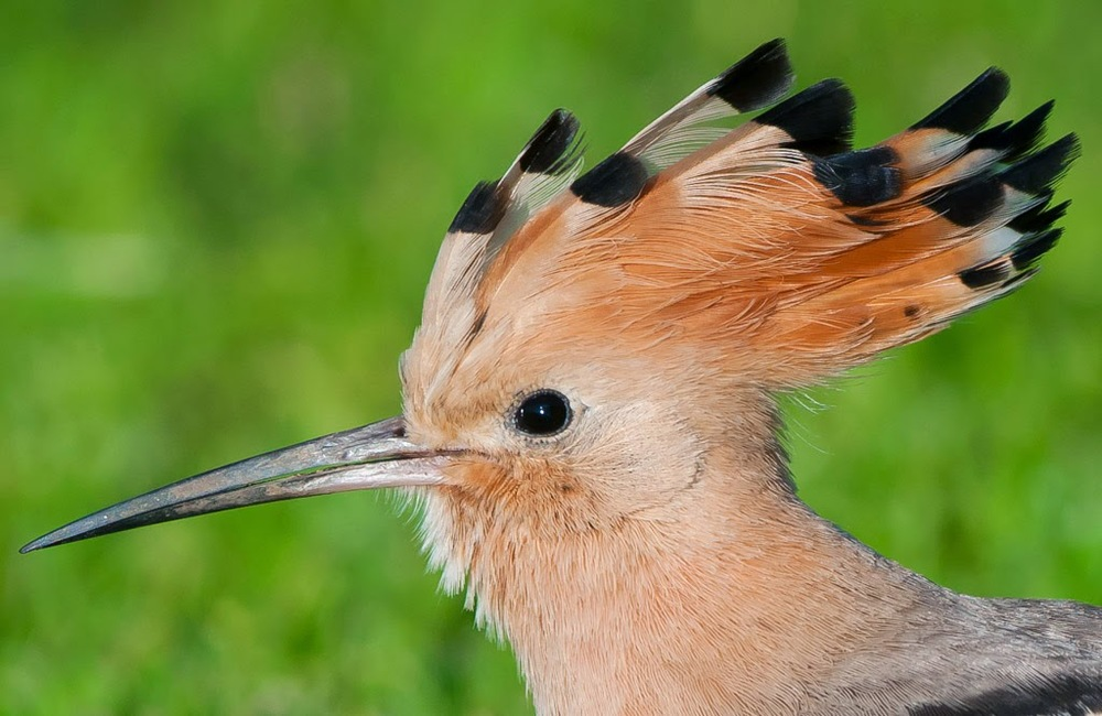 Hoopoe+(10+of+1)-3.jpg