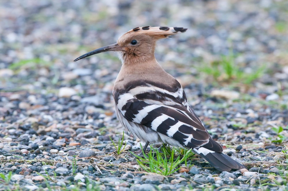 Hoopoe (2 of 3).jpg