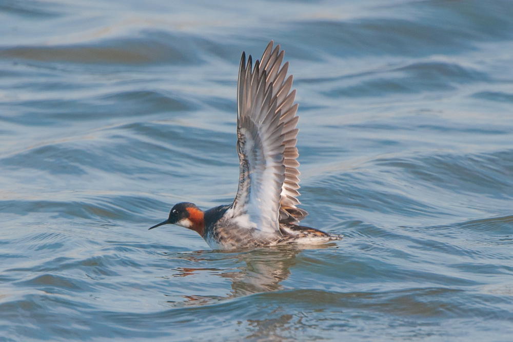 This beautiful red-necked phalarope turned up at North Cave Wetlands for a couple of days in May. A black tern turned up on the evening I took this shot making it a particularly memorable couple of hours.