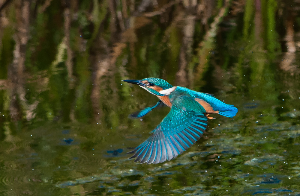 I had numerous enjoyable trips to Tophill Low during the summer to photograph kingfishers. The sharp flight shot still eludes me this being probably the best. Plenty of room for improvement!