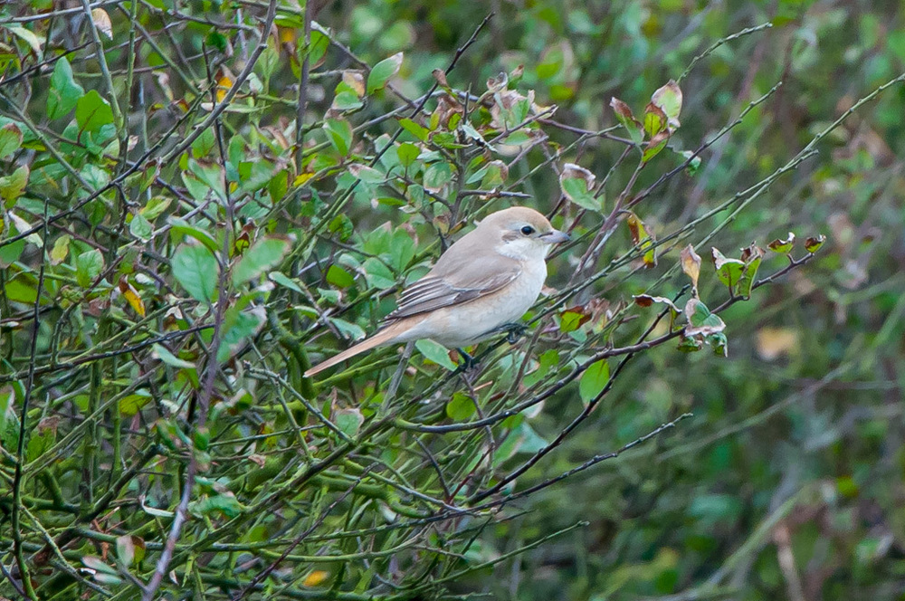 This isabelline shrike was the highlight of a particularly good day at Spurn in October that included yellow browed warbler, hoopoe and a host of other scarce and common migrants.
