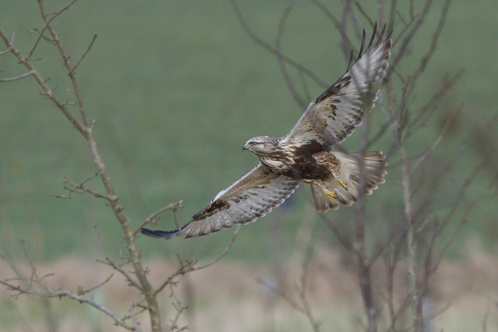 Rough L Buzzard (3 of 25).jpg