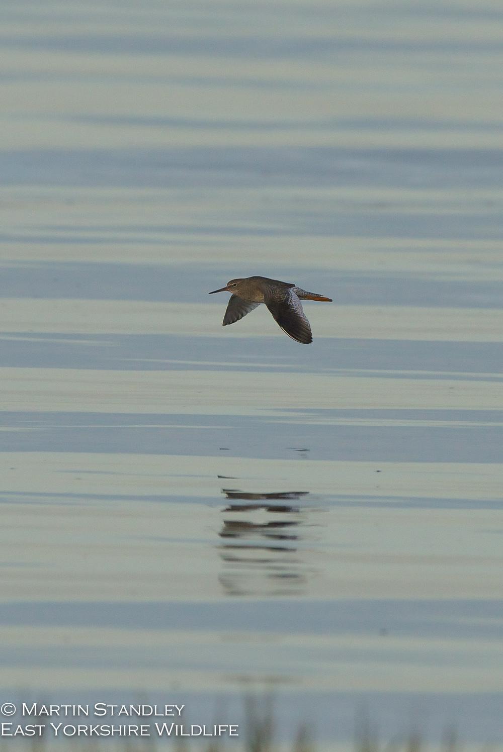 Pied Flycatcher (5 of 19).jpg