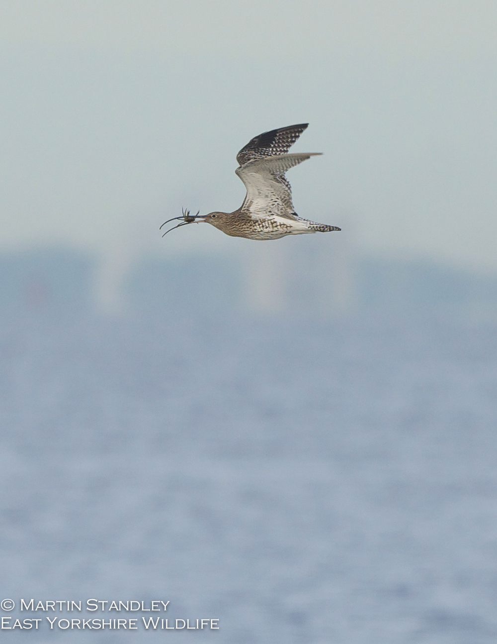Pied Flycatcher (9 of 19).jpg