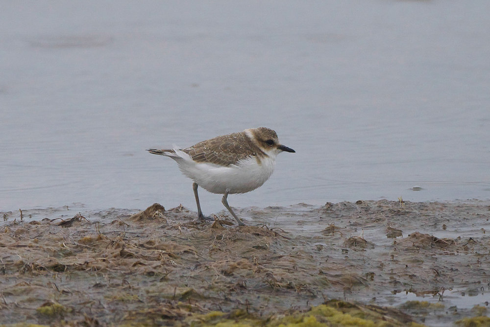 Kentish Plover  (5 of 11).jpg