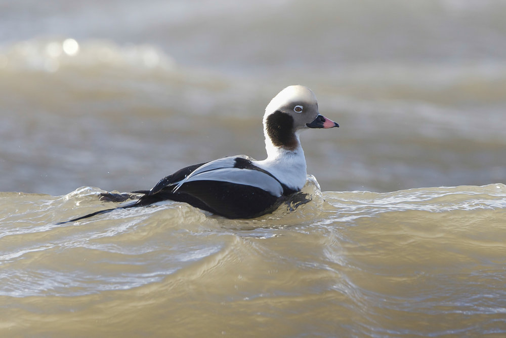 Long-Tailed Duck-Filey Brigg-February
