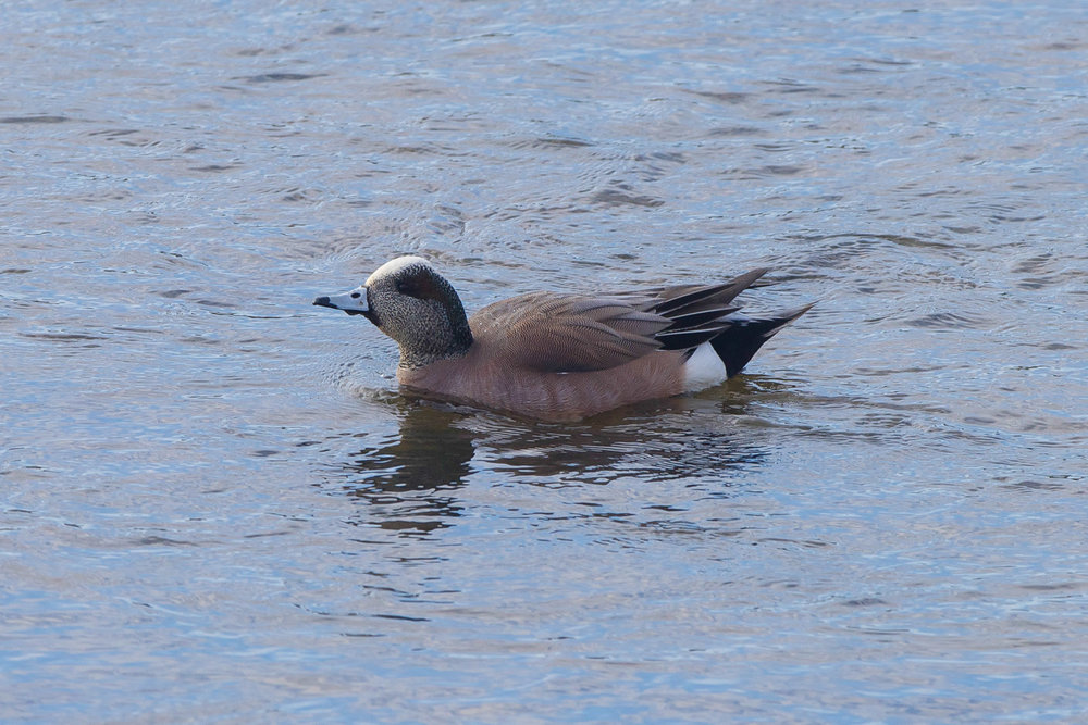 American Wigeon-Scarborough-March