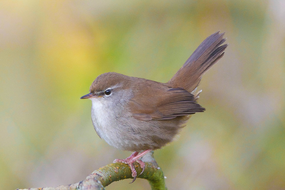 Cettis warbler-Tophill Low-May