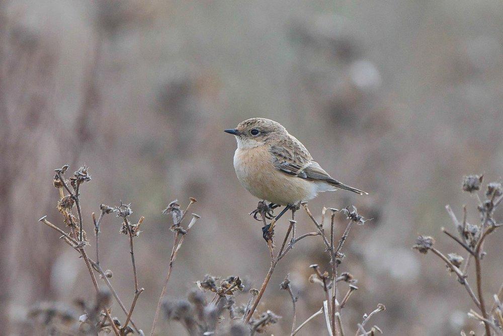 Siberian Stonechat-Easington-October