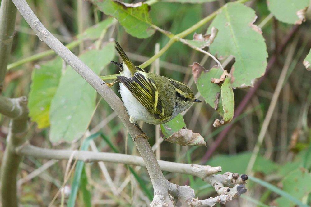 Pallas's Warbler-Sammy's Point (Easington)-October