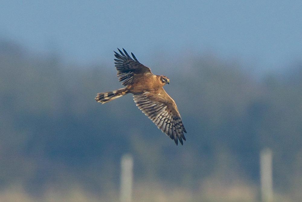 Pallid Harrier-Welwick-December