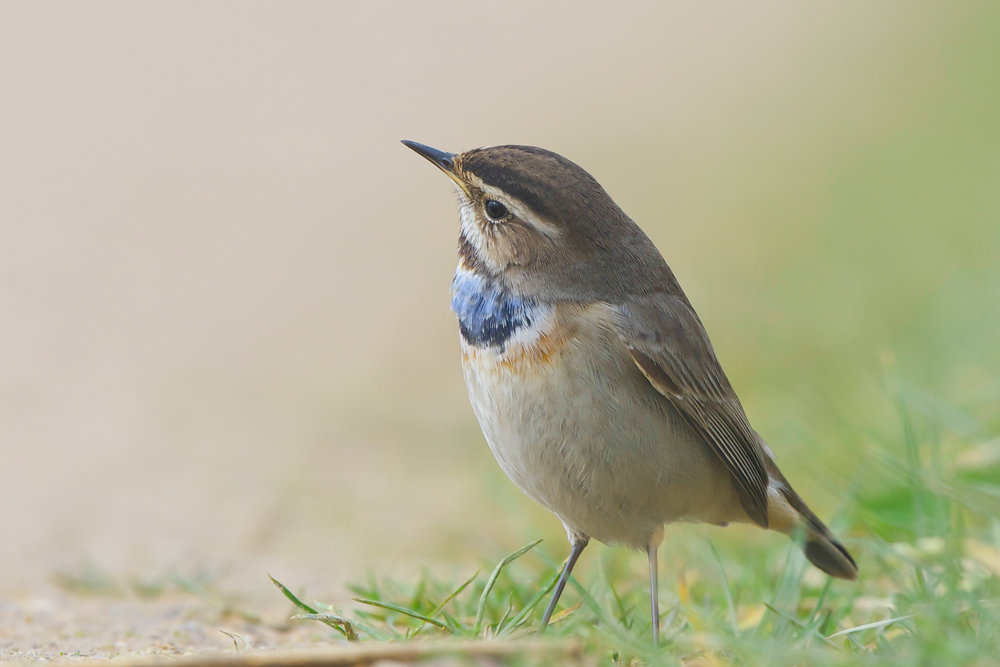 Bluethroat (16 of 16).jpg