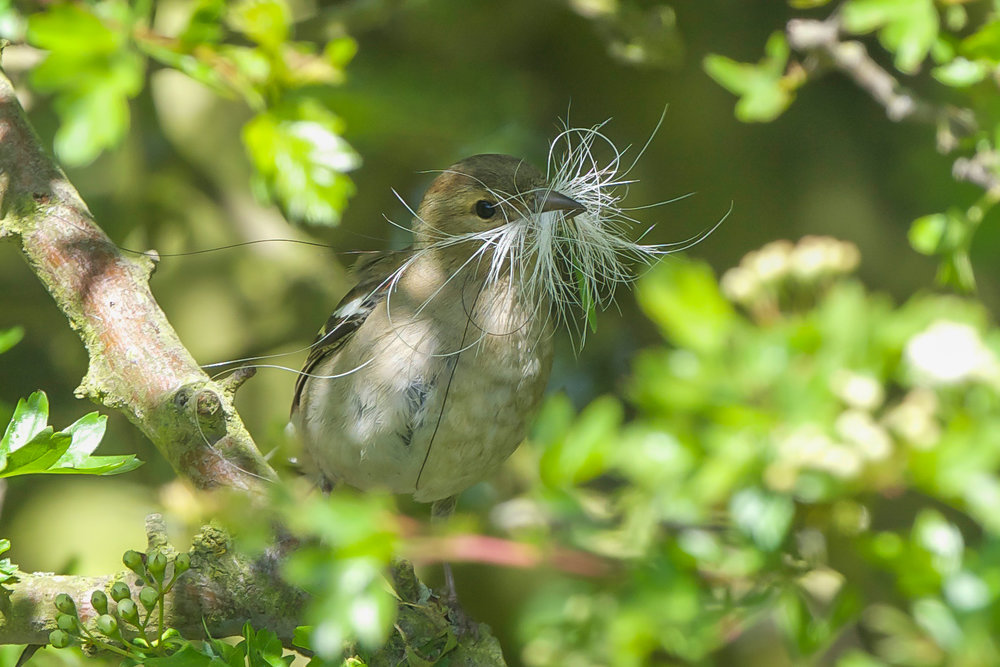 Chaffinch with nesting material