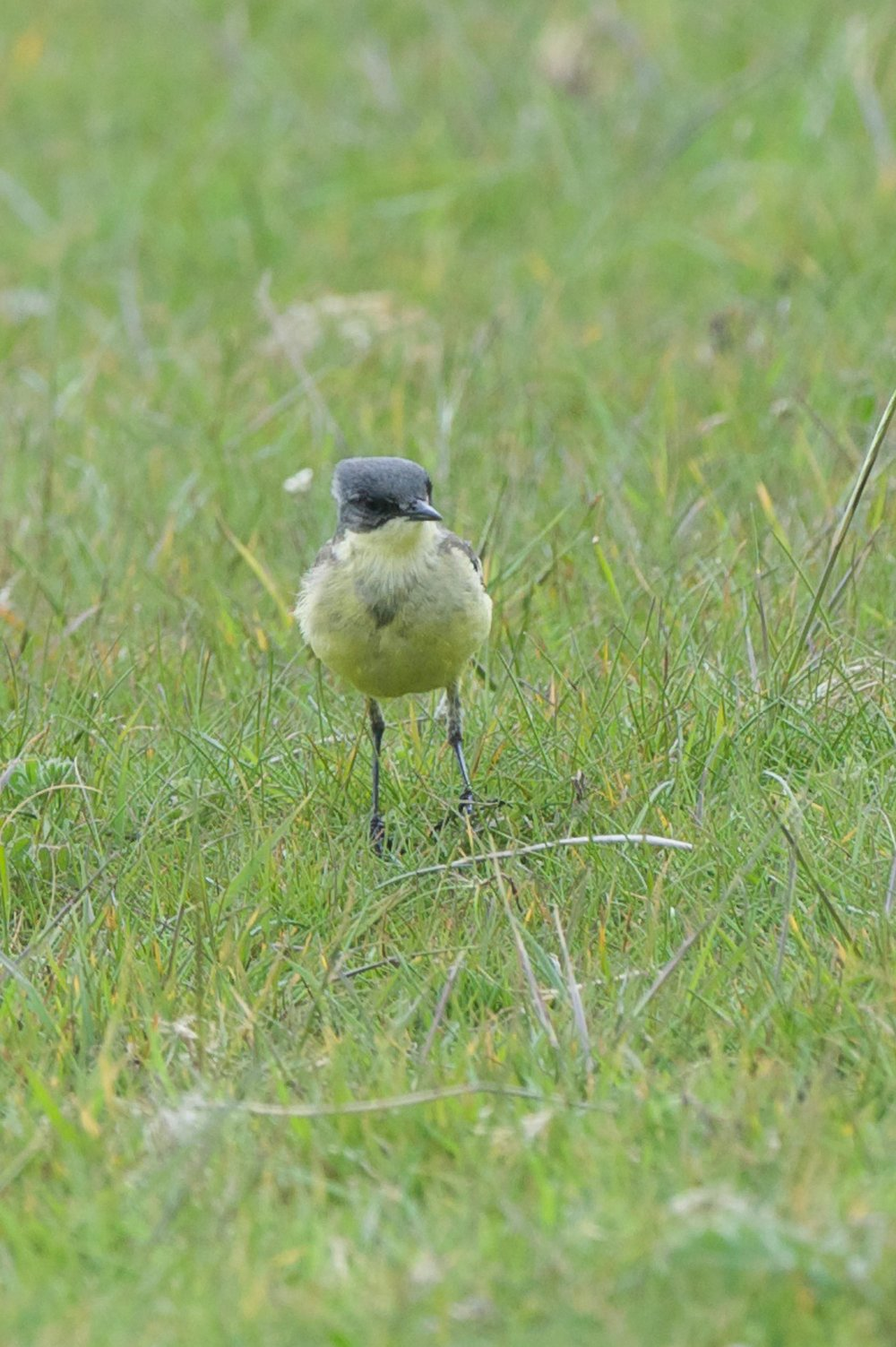 Grey Headed Wagtail