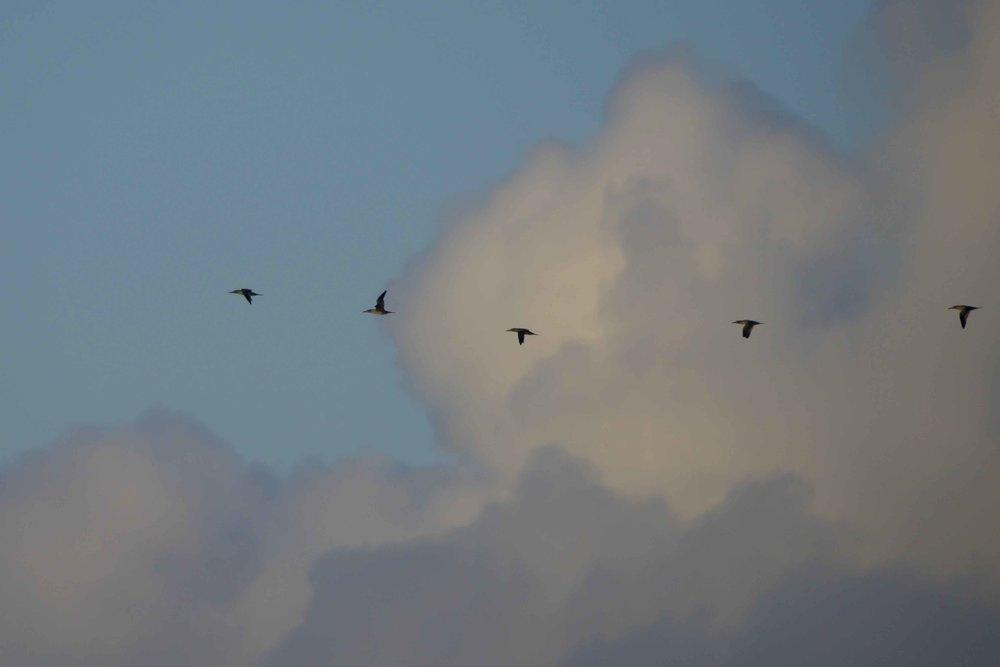 gannets (1 of 1).jpg