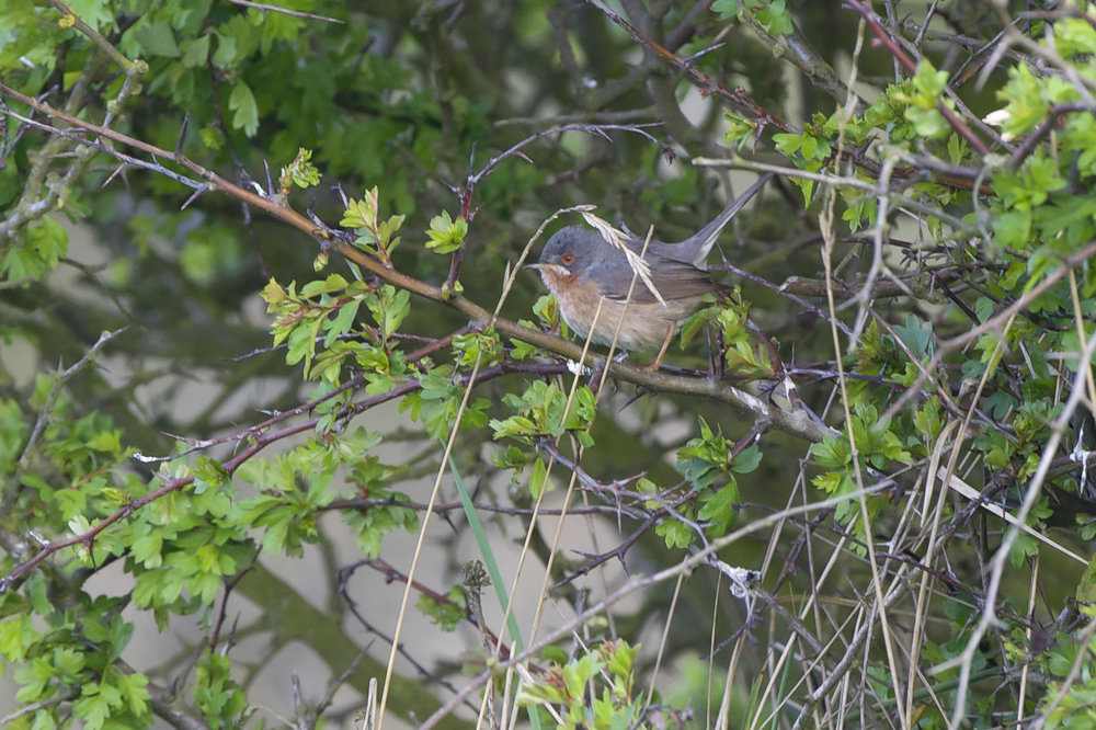 Subalpine Warbler at Spurn