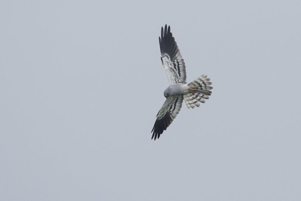 Montagu's Harrier-Sunk Island