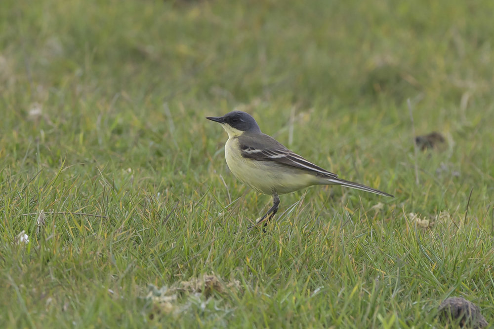 Grey-Headed Wagtail-Spurn