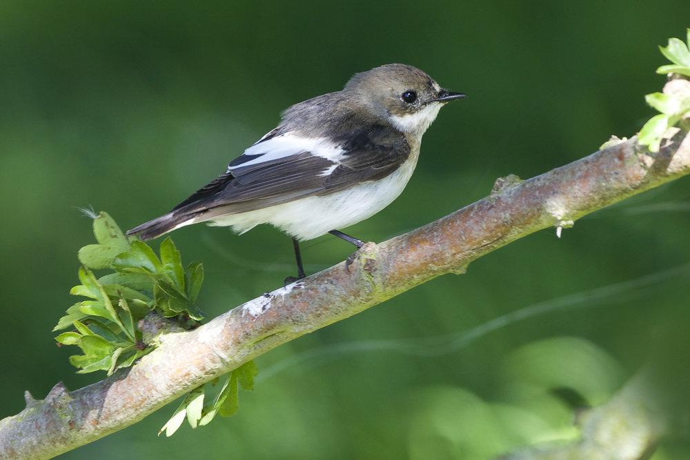 Pied Flycatcher-Sammy's Point