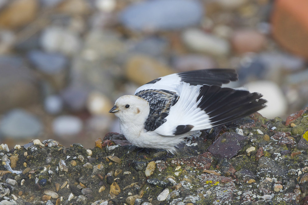 Snow Bunting-Spurn