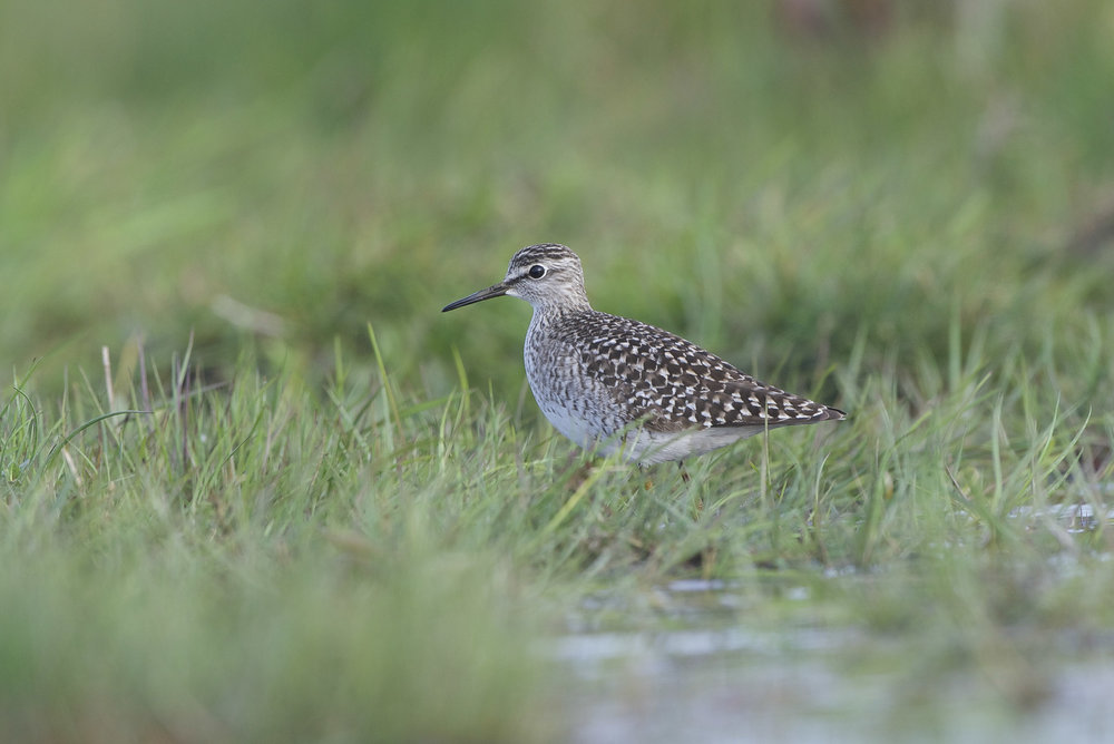 Wood Sandpiper-Swinemoor