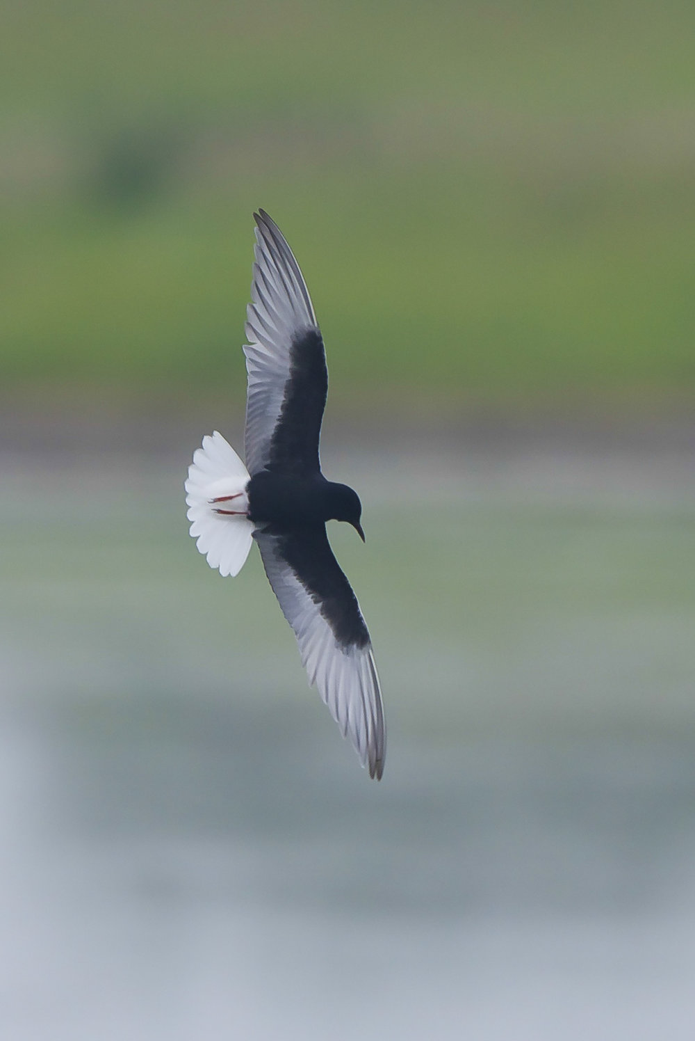 White Winged Black Tern at Kilnsea Wetlands