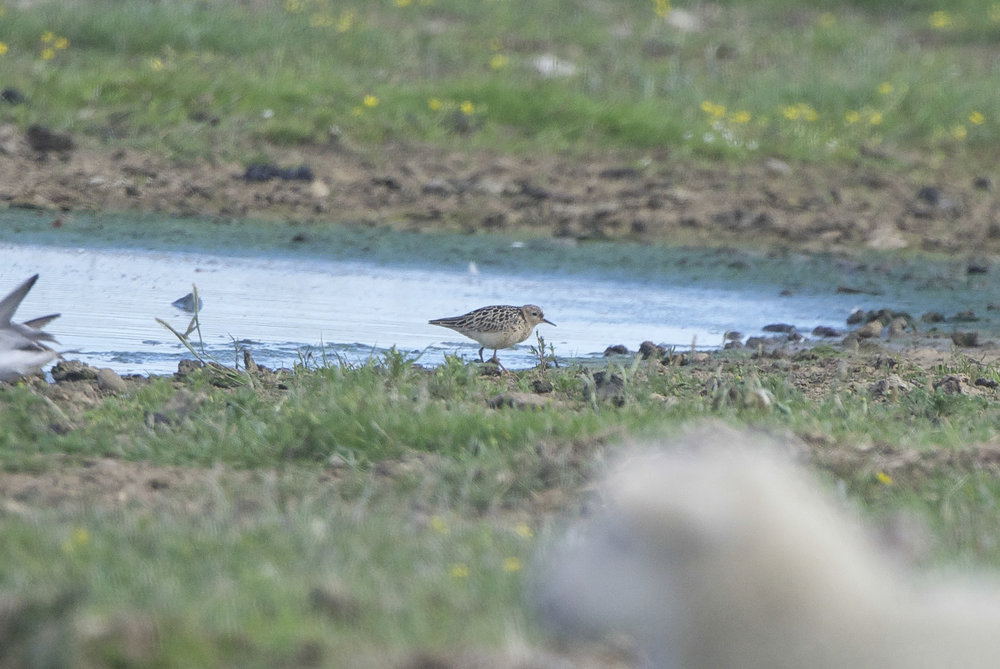 Buff-breasted Sandpiper at Kilnsea Wetlands