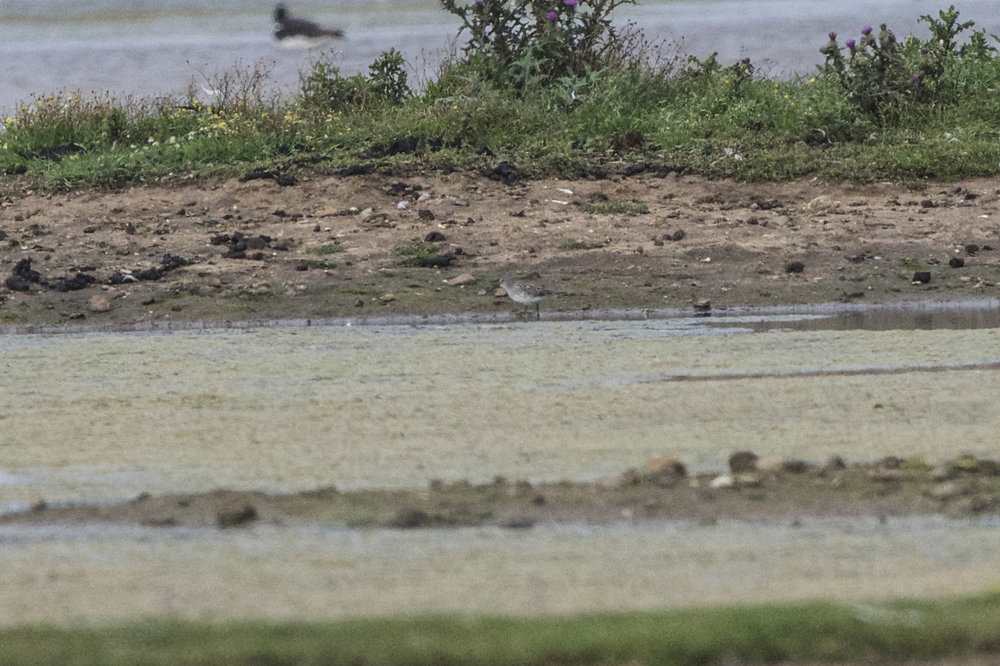 White rumped sandpiper at Kilnsea Wetlands