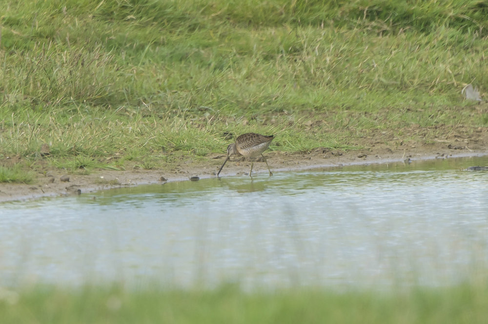 Long=billed Dowitcher at Holderness Fields