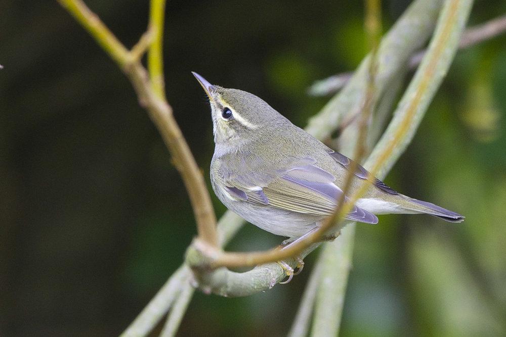 Arctic Warbler at Kilnsea