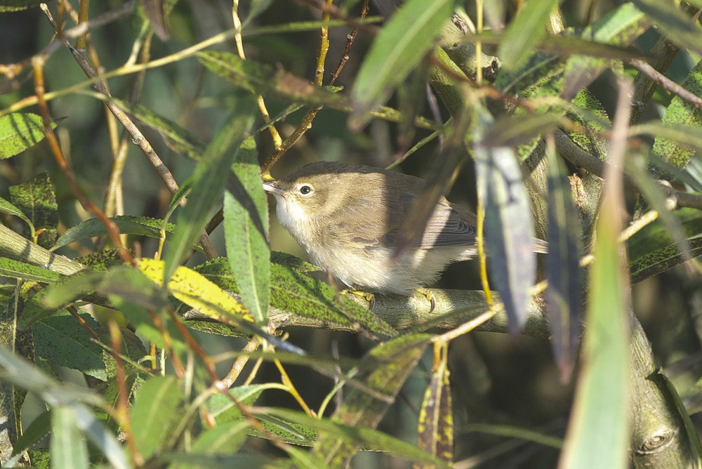 Marsh Warbler at Spurn