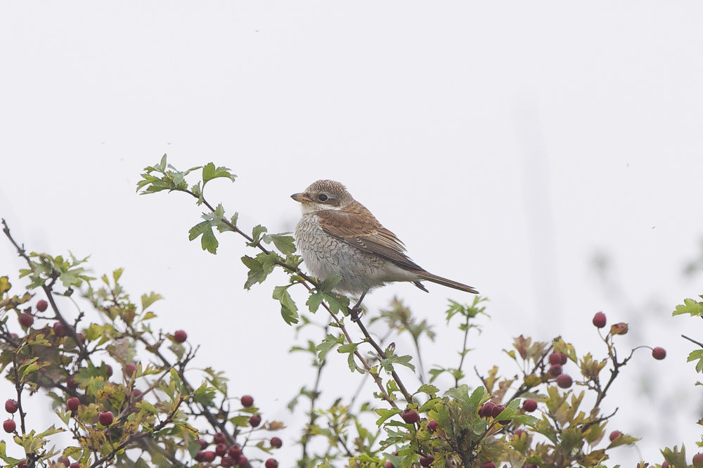 Red-Backed Shrike at Easington