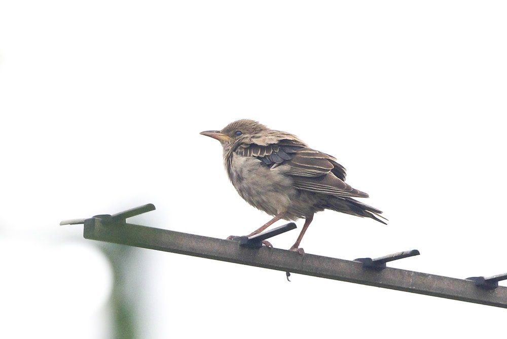 Rose-Coloured Starling at Easington