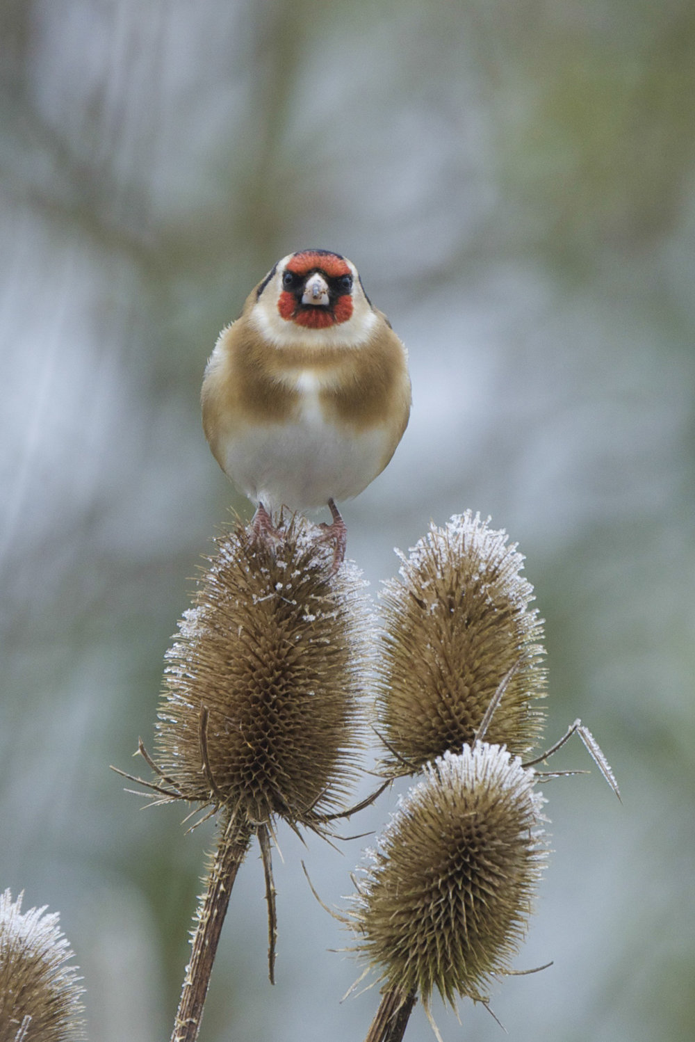 Goldfinch at North Cave Wetlands