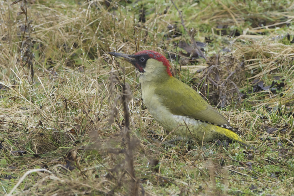 Green Woodpecker at North Cave Wetlands