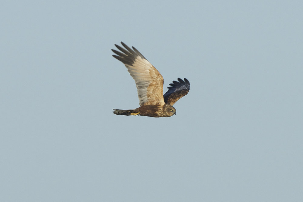 Marsh Harrier at Welwick