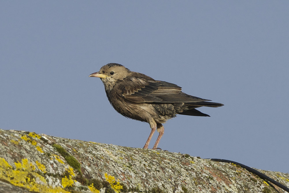 Rose Coloured Starling at Easington