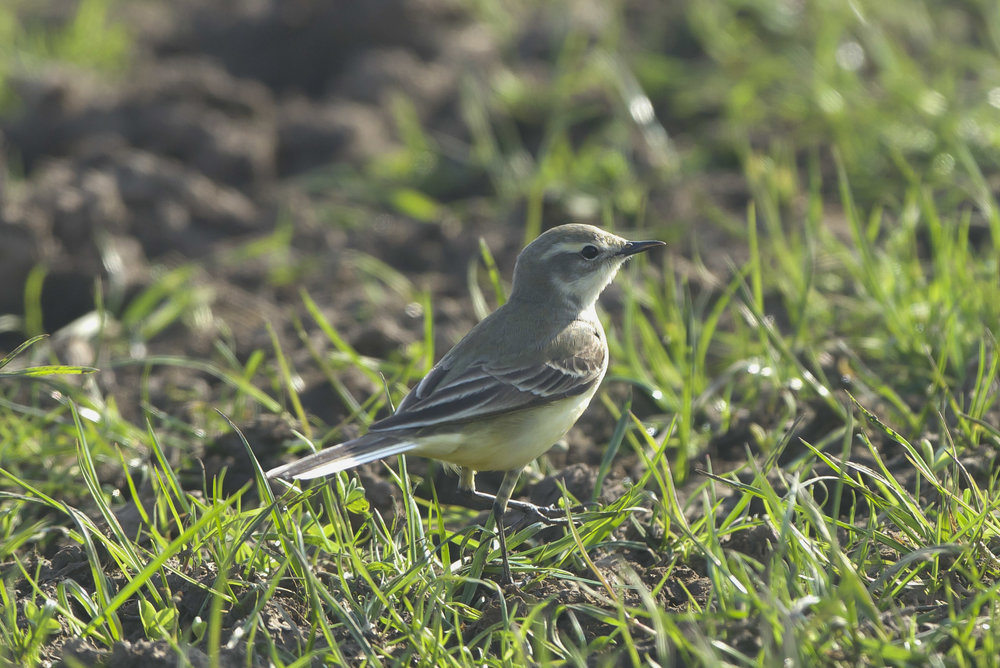 Yellow Wagtail Kilnsea Wetlands