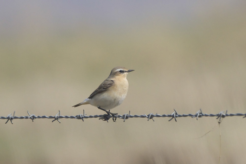 Wheatear The Warren