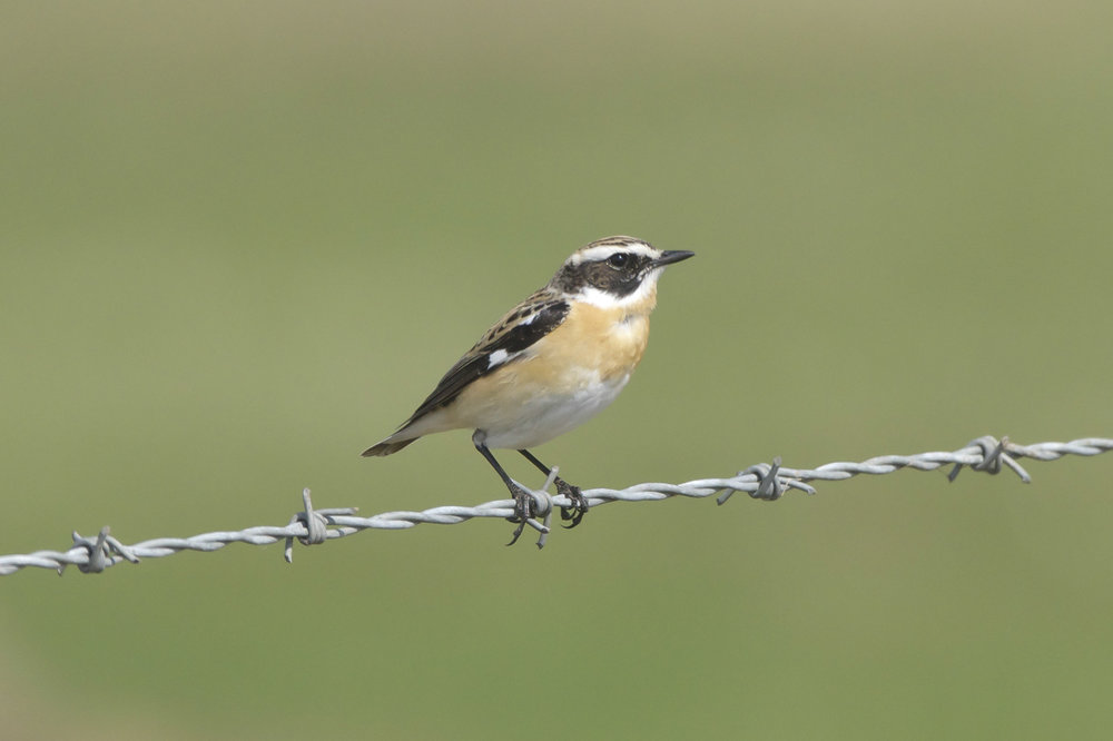 Whinchat  The Warren