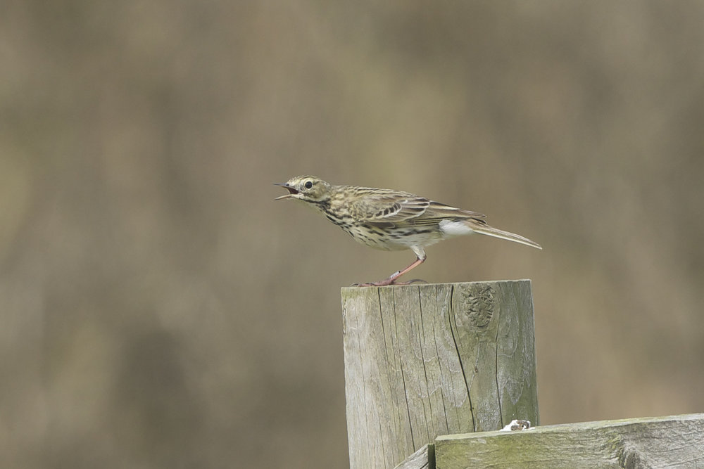 Meadow Pipit Whinchat  The Warren