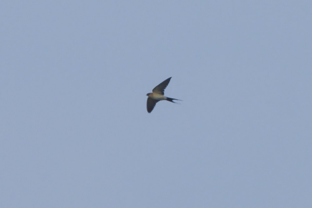 Red-Rumped Swallow The Warren