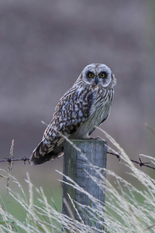 Short-eared owl Kilnsea Wetlands
