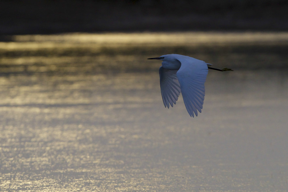 Little egret-Beacon Ponds