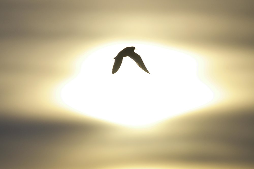 Redshank-Beacon Ponds
