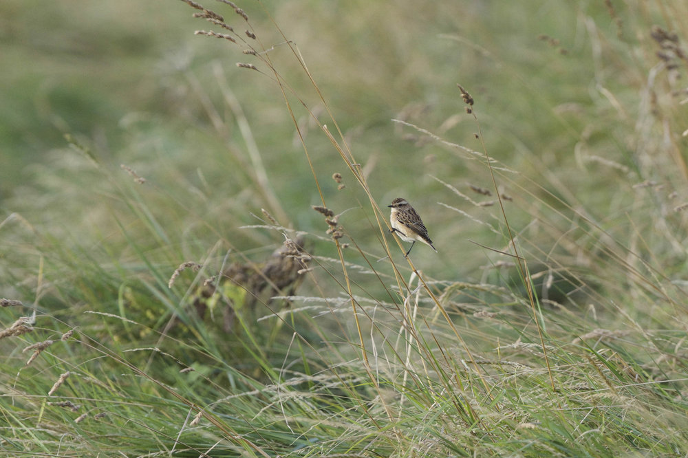 Whinchat-Canal Banking