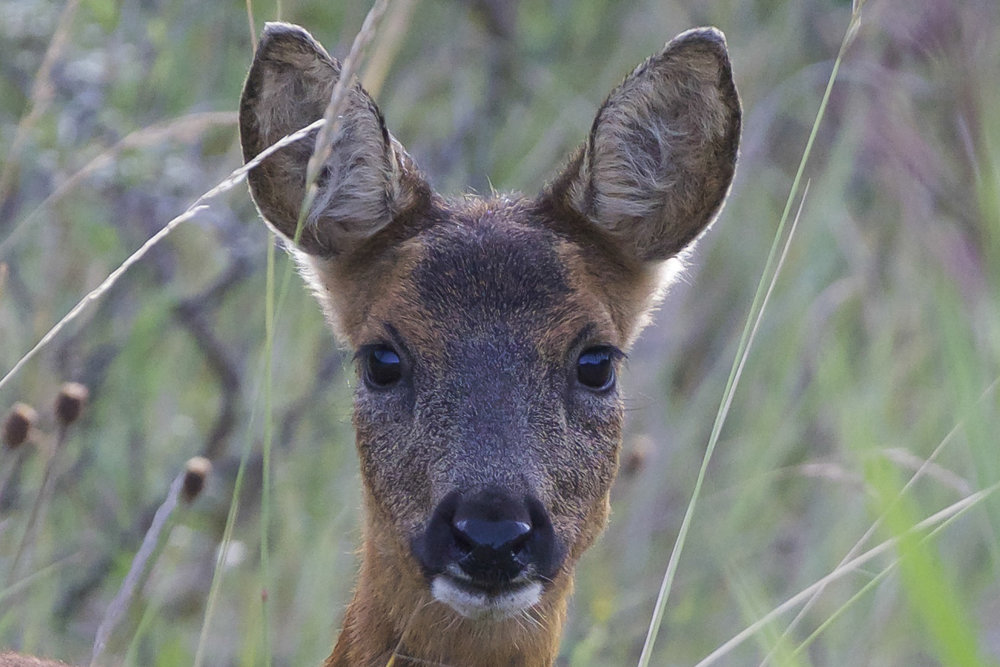Roe Deer- Canal Banking