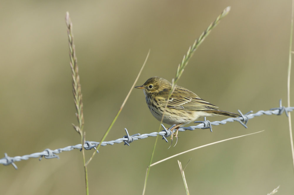 Meadow pipit-Triangle