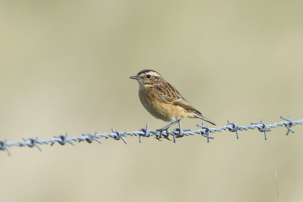 Whinchat-Triangle