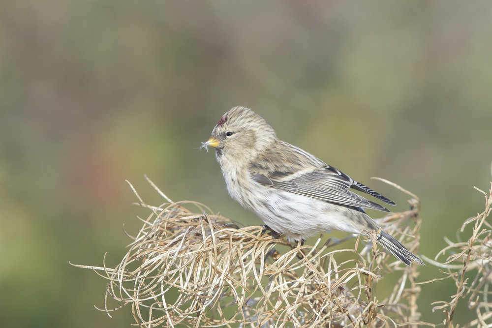 possible arctic redpoll